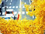 秋天的银杏
