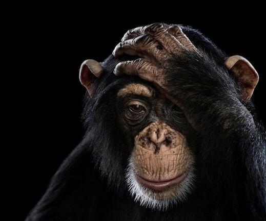 烦恼的猩猩